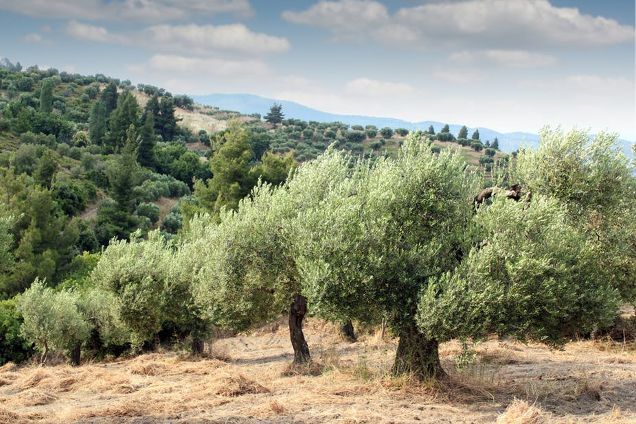 Olive wood field on the hillside